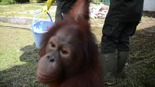 Orangutans Go to School at BOS Nyaru Menteng