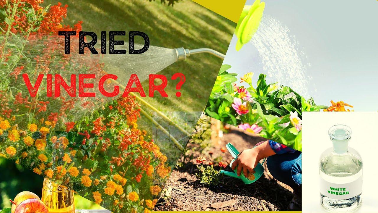 Uses of Vinegar for Plants - YouTube