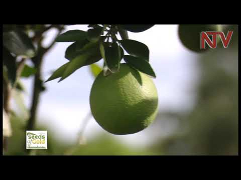 Seeds of Gold: When life gives you lemons, plant them