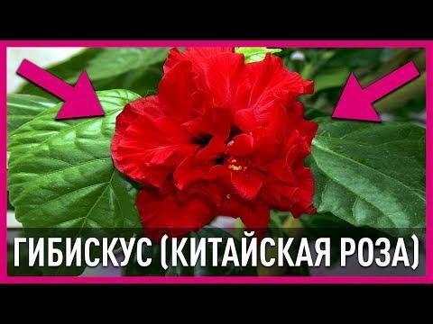 Цветы в доме. Гибискус комнатный (китайская роза).