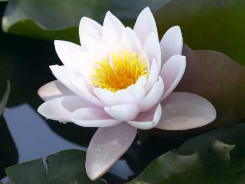 Beautiful Chinese Flowers Music The Lotus Blossom Melody Youtube