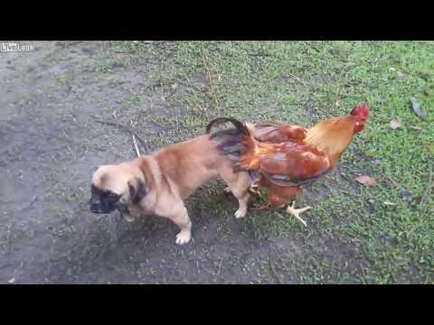 Chó bị kẹt của quý sau khi quan hệ với gà