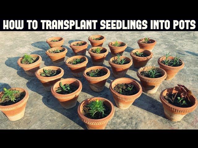 How To Transplant Seedlings - Full Information