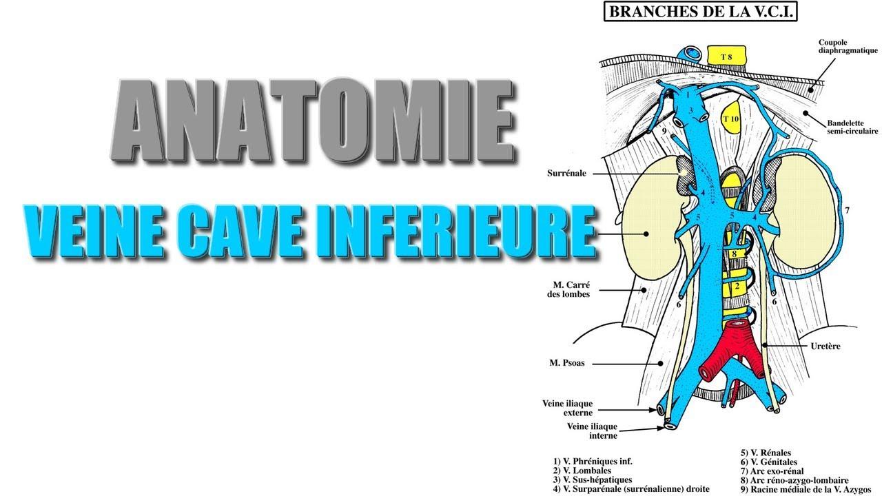 anatomie veine cave