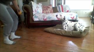 Zander The Dalmatian On Day 4 Of Training