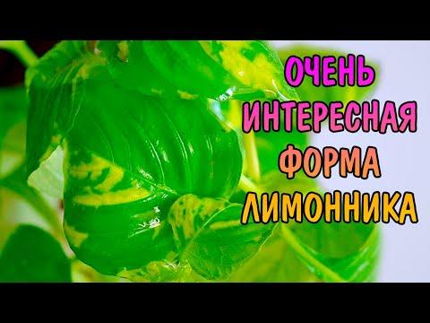 НОМАФИЛА ВАРИЕГАТНАЯ ( nomaphila sp variegatus )