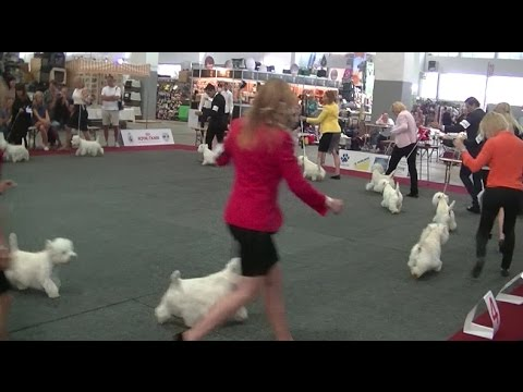 European Dog Show 2016 West Highland White Terrier