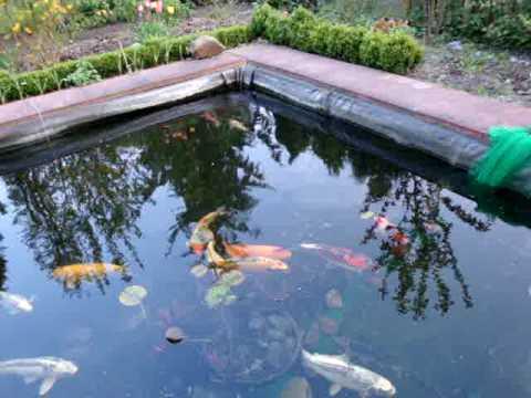 St r karpfen gr ndlinge und goldfische im teich gart for Koi und goldfische im gartenteich