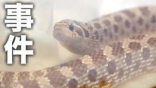 ヘビを飼育しているとたまに起こる事件