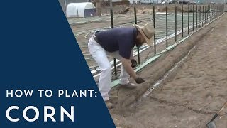 How to Plant Corn