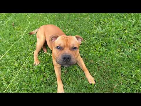 Staffordshire bull terrier dog playing fetch  (9 Month old puppy)