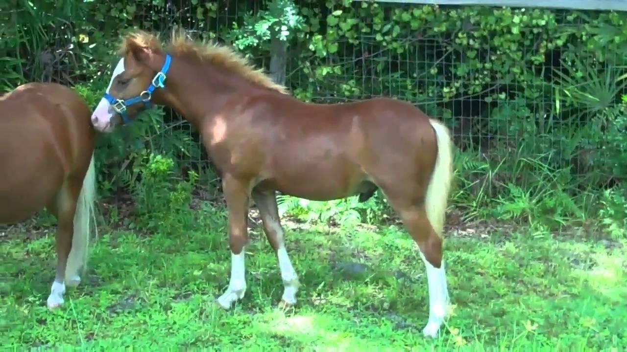 Section A Welsh Pony Colt Stallion For Champion Hunter