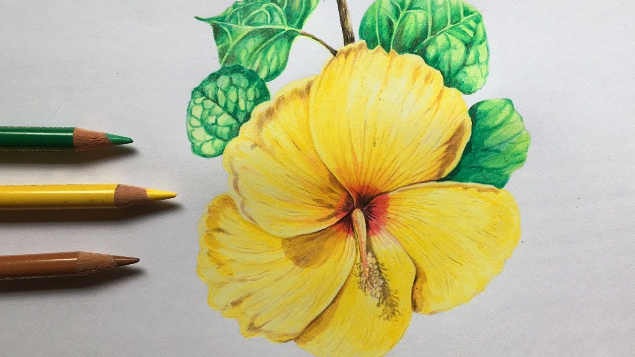 Hibiscus Flower Drawing in Color Pencils