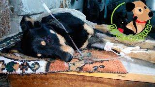 Обезвоживание у собаки или  кошки, причины, симптомы и первая помощь