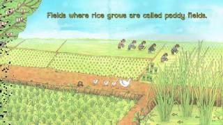 how does rice grow