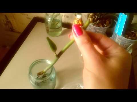 Детка орхидеи фаленопсис из цветоноса