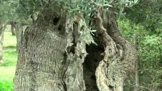 Olivenhain mit Schafen - Das Andere Mallorca idyllische Bergwelt - Majorca Mountains scenery