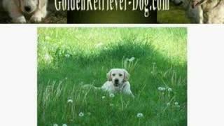 Golden Retriever Puppy Training - Careful What You Teach!