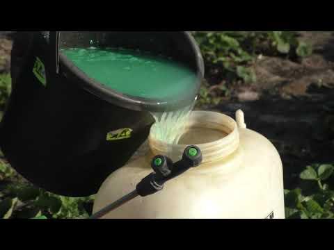 Обработка клубники от вредителей и болезней после плодоношения.
