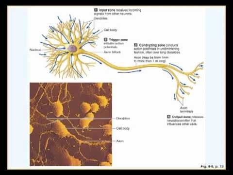 Neuron physiology and action potential (Part I)