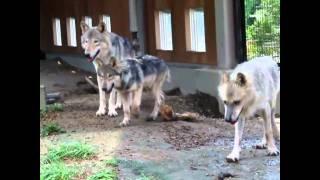 札幌市円山動物園のシンリンオオカミ、ジェイ(5歳)、キナコ(メス10歳...