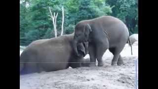 Слоненок, который просто хочет поиграть(, 2015-06-18T21:59:37.000Z)