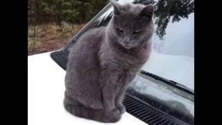 Russian Blue Cat Review