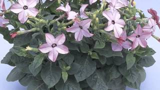 Nicotiana alata - Flowering Tobacco
