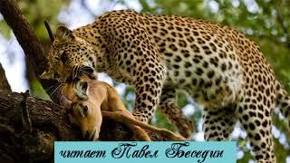 Малыш леопард и малыш антилопа африканская сказка  читает Павел Беседин