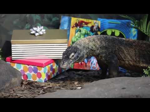 Rare Komodo dragon celebrates 8th birthday in Australia