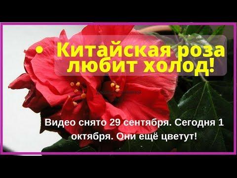 Когда красный гибискус цветет дольше