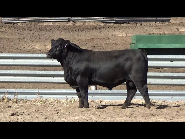 Connealy Angus Lot 128