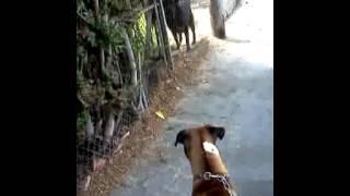 Boxer Vs Rottweiler