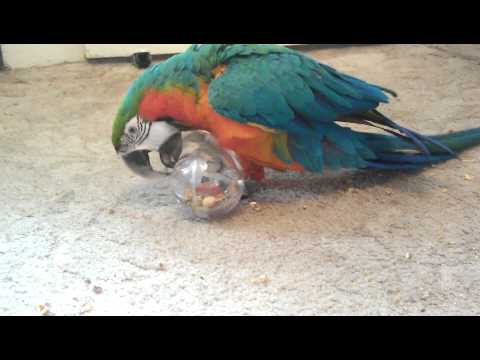 Skittles the Harligold Macaw foraging