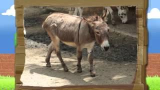 Узнать - Осёл – животном которое имеет длинные уши, но не кролик - для детей - исследование - школа