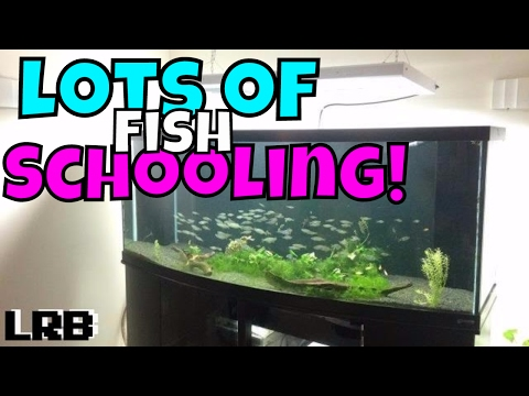 Behaviors of a Large Schooling Community Tank