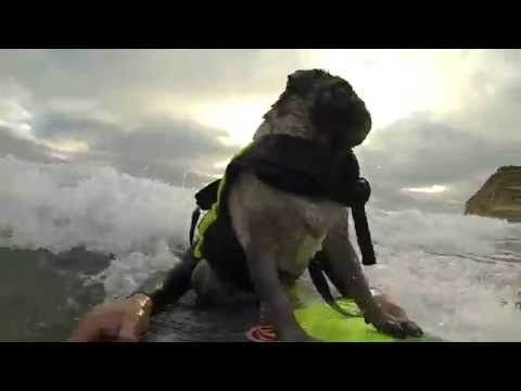 Pug Surfing at Del Mar Dog Beach GoPro Compilation