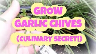 GROW GARLIC CHIVES My New Favorite Herb (Culinary Secret!)