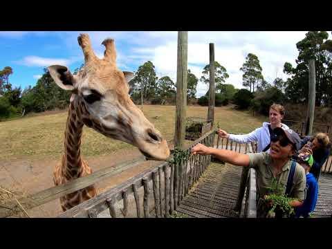 Feeding the giraffes at Orana Wildlife Park, New Zealand