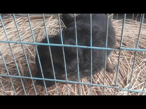 Long Coat German Shepherd Female Puppy available