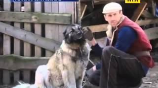 Собака загрызла ребенка(Кавказская овчарка загрызла полуторагодовалого ребенка на Житомирщине. Девочка играла во дворе. А ее мать..., 2016-04-08T09:09:19.000Z)