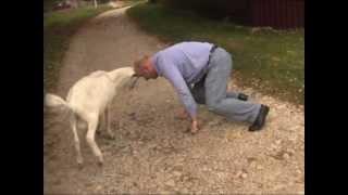 Борьба с козлом. Смешное, приколы, животные