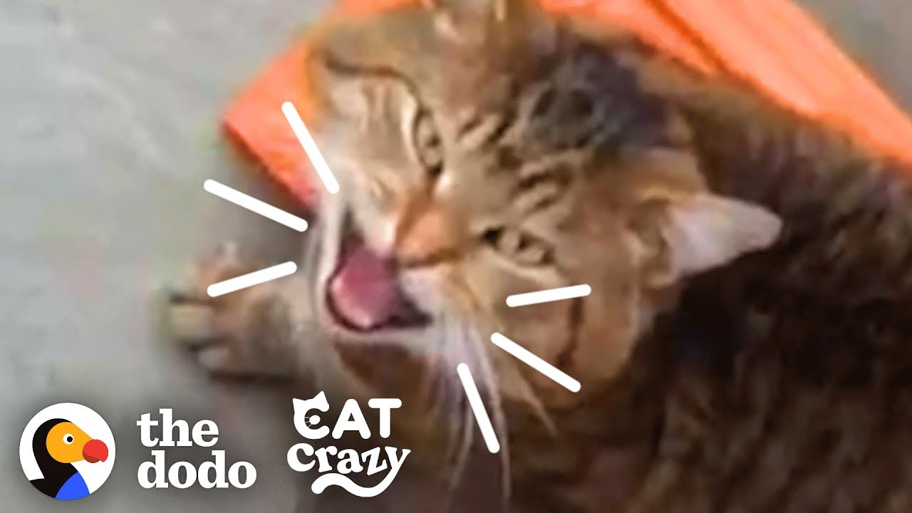 Stray Cat Keeps Sneaking In For Food | The Dodo Cat Crazy