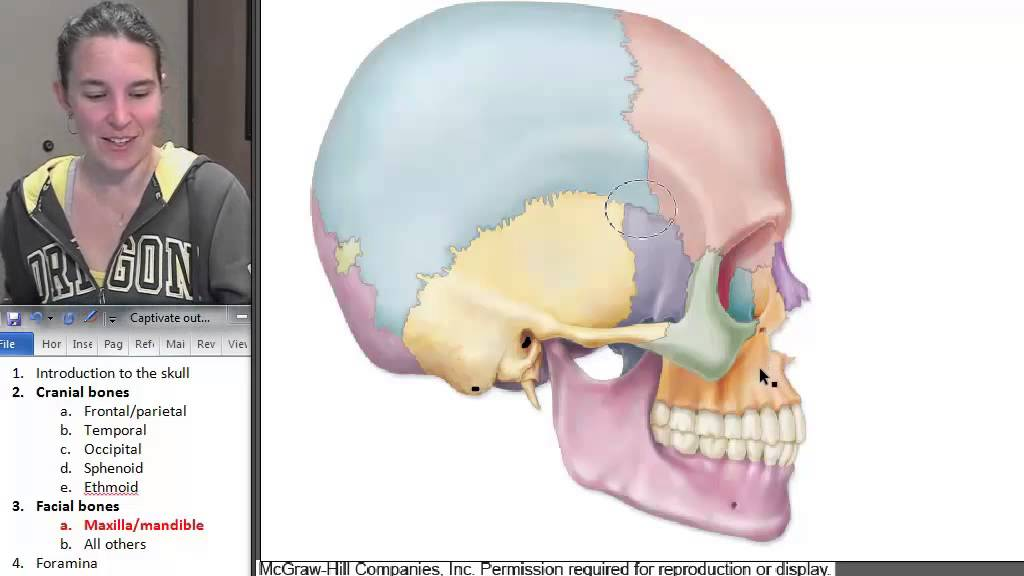 maxilla mandible skull human anatomy course