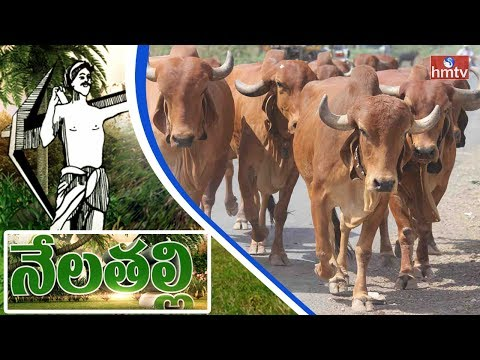 Ankush has been preserving indigenous cattle breeds of India | Nela Talli | HMTV