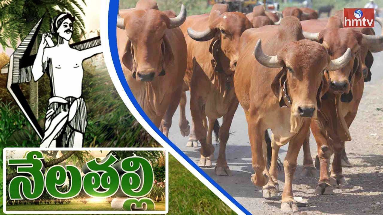 H F Cattle India Ankush has been...