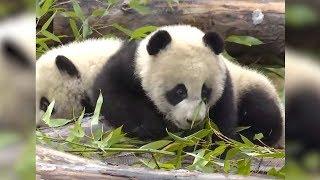 В Китае показали публике панд-близнецов