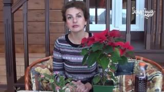 видео Пуансеттия уход, полив, цветение