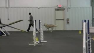 """Siberian Husky """"Raiden"""" running agility 2"""