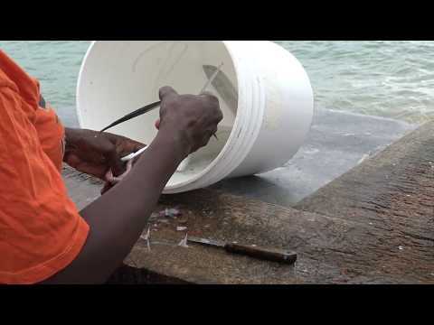 Spotlight On The Eastern Caribbean Flyingfish Fishery